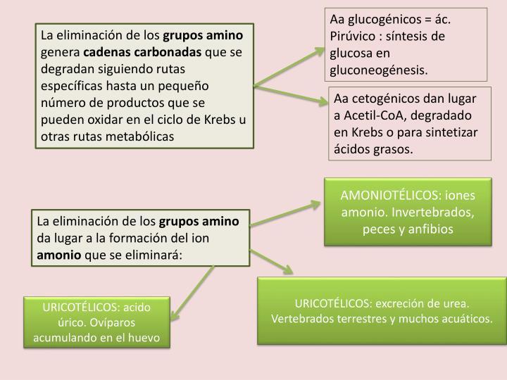 Aa glucogénicos = ác. Pirúvico : síntesis de glucosa en gluconeogénesis.