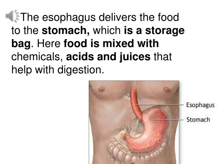 The esophagus delivers the food               to the