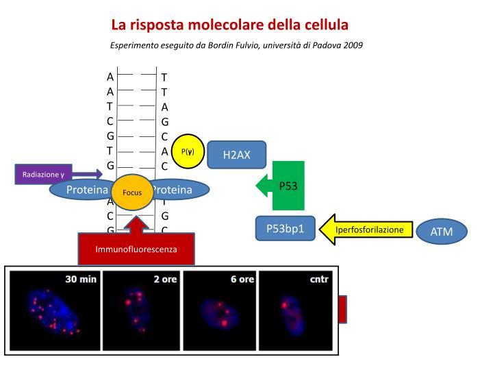 La risposta molecolare della cellula