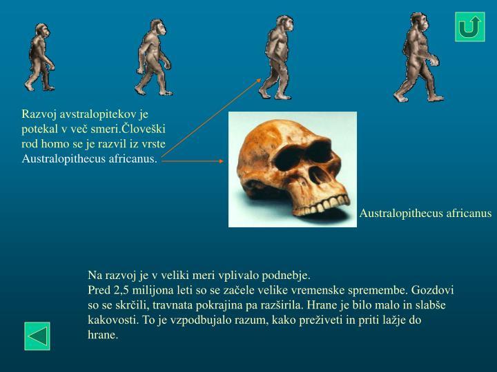 Razvoj avstralopitekov je potekal v več smeri.Človeški rod homo se je razvil iz vrste