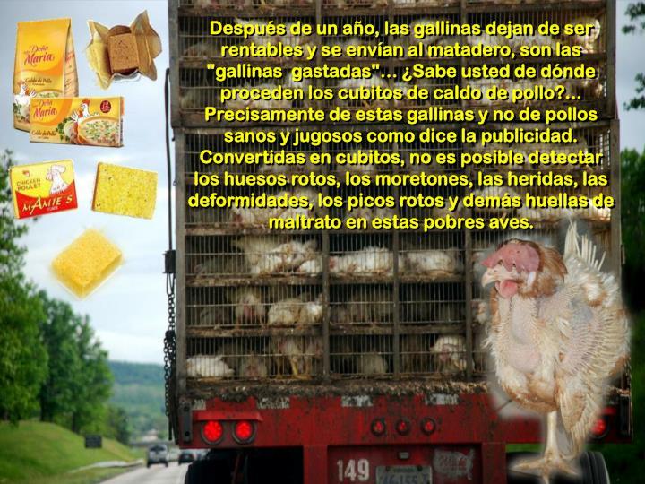 """Después de un año, las gallinas dejan de ser rentables y se envían al matadero, son las """"gallinas  gastadas""""… ¿Sabe usted de dónde proceden los cubitos de caldo de pollo?... Precisamente de estas gallinas y no de pollos sanos y jugosos como dice la publicidad. Convertidas en cubitos, no es posible detectar los huesos rotos, los moretones, las heridas, las deformidades, los picos rotos y demás huellas de maltrato en estas pobres aves."""