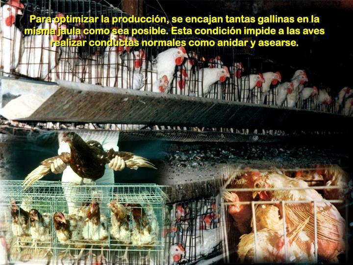 Para optimizar la producción, se encajan tantas gallinas en la misma jaula como sea posible. Esta condición impide a las aves realizar conductas normales como anidar y asearse.