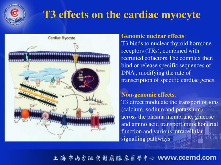 T3 effects on the cardiac myocyte