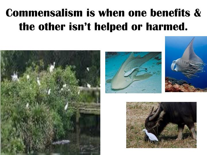 Commensalism is when one benefits & the other isn't helped or harmed.