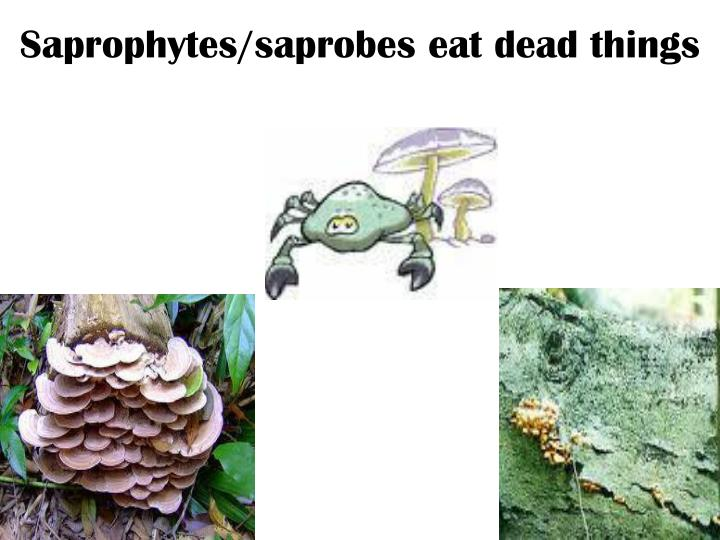Saprophytes/saprobes eat dead things