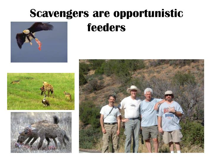 Scavengers are opportunistic feeders
