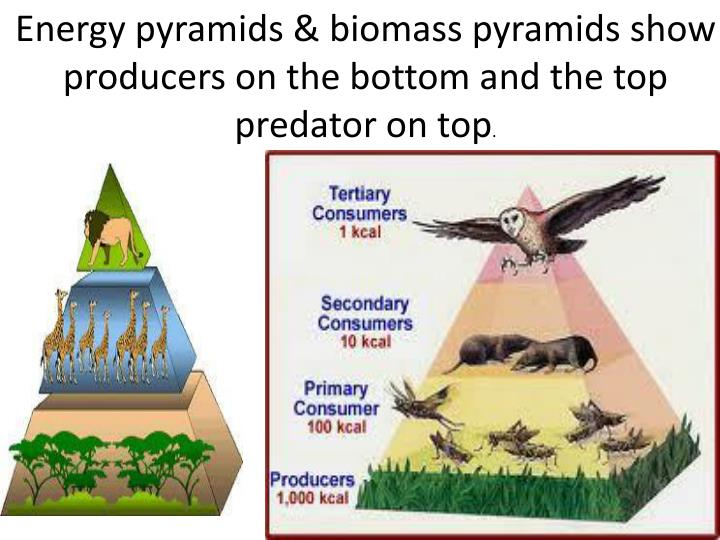 Energy pyramids & biomass pyramids show producers on the bottom and the top predator on top