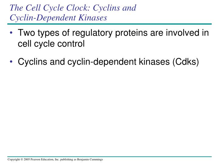 The Cell Cycle Clock: Cyclins and