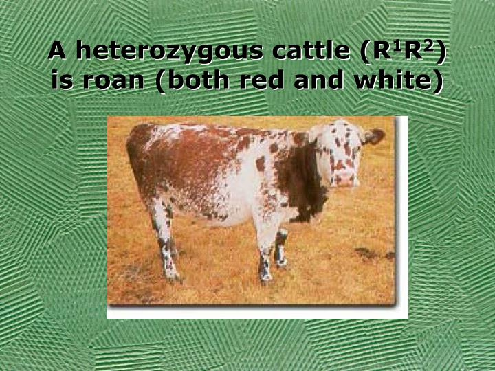 A heterozygous cattle (R