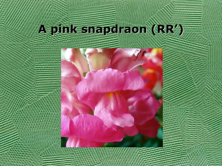 A pink snapdraon (RR')