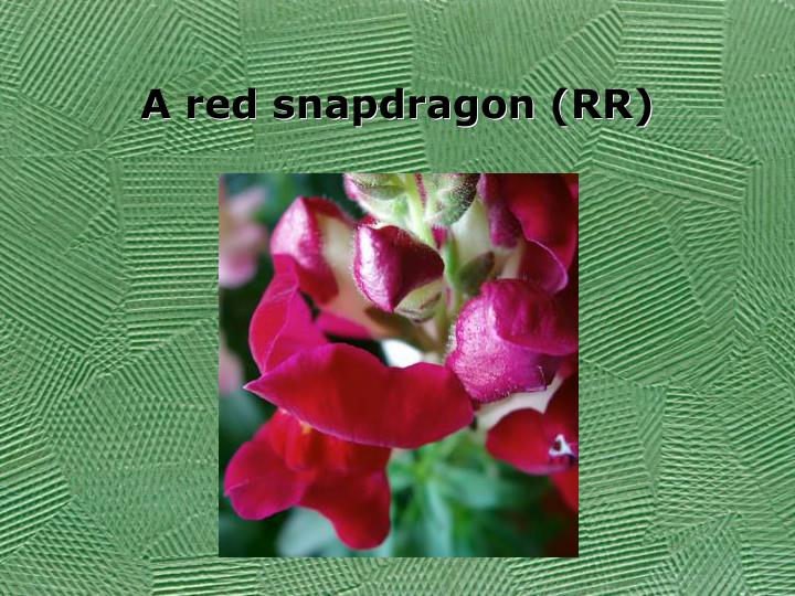 A red snapdragon (RR)