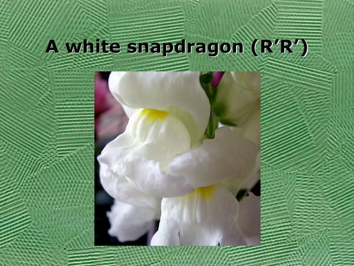 A white snapdragon (R'R')