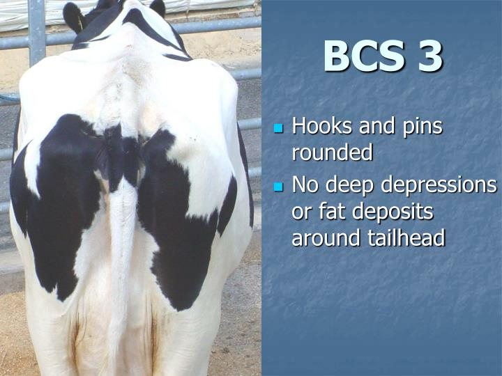 BCS 3