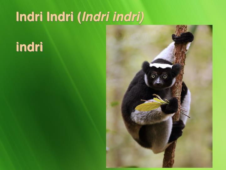 Indri Indri (