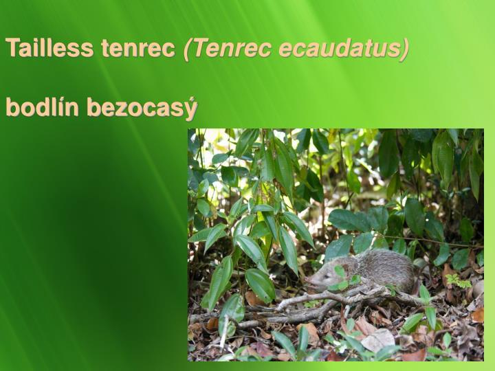Tailless tenrec