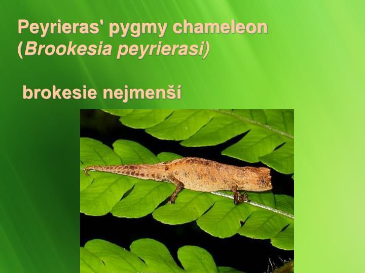 Peyrieras' pygmy chameleon