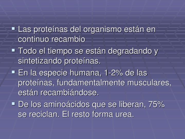 Las proteínas del organismo están en continuo recambio