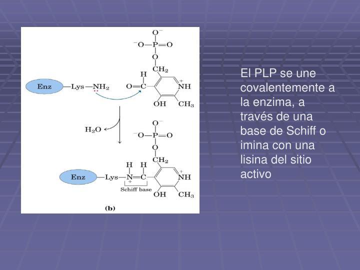 El PLP se une covalentemente a la enzima, a través de una base de Schiff o imina con una lisina del sitio activo