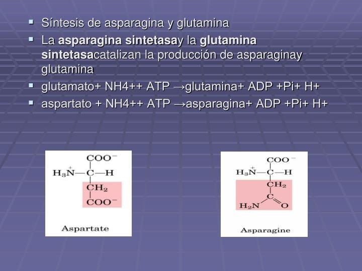 Síntesis de asparagina y glutamina