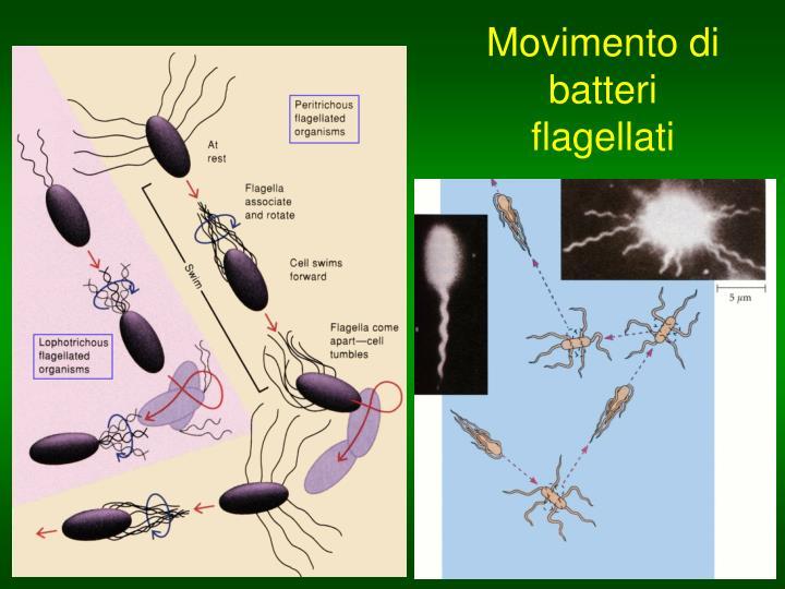 Movimento di batteri flagellati
