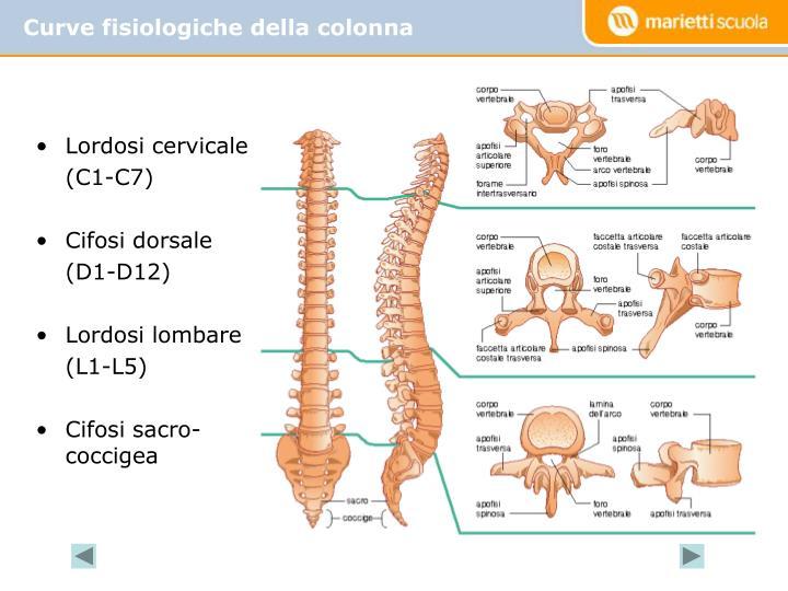 Curve fisiologiche della colonna