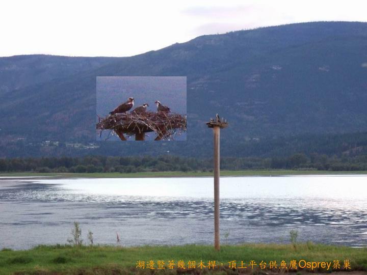 湖邊豎著幾個木桿,頂上平台供魚鷹