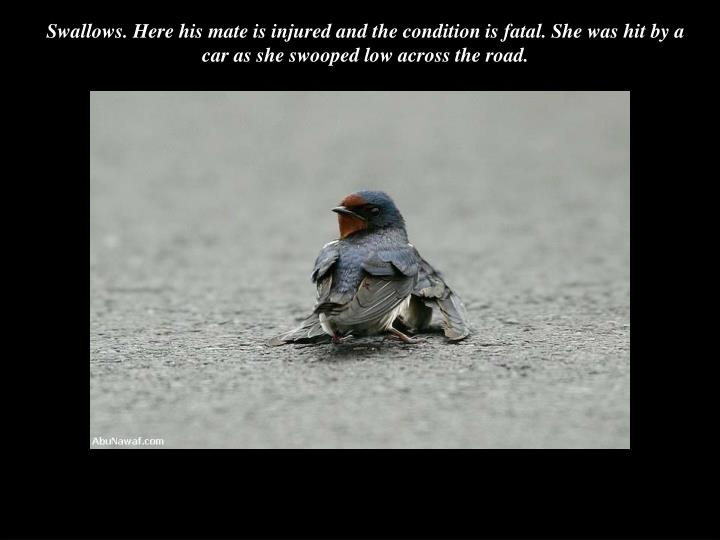 Swallows. Here his mate is injured and the condition is fatal. She was hit by a car as she swooped low across the road.