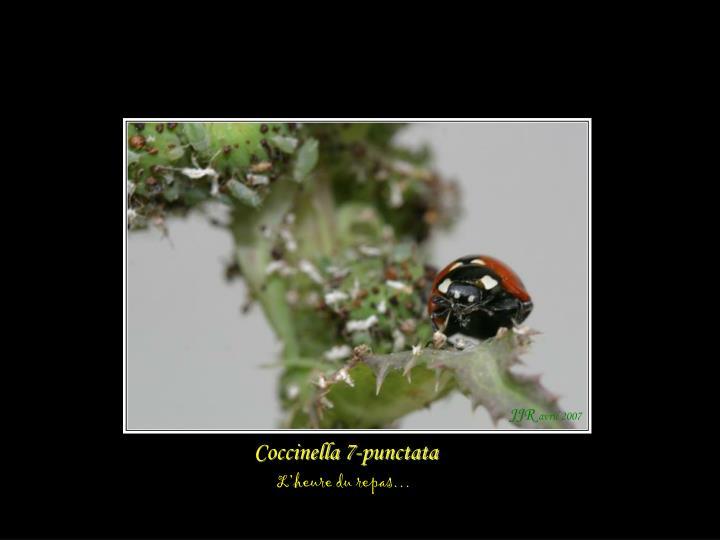 Coccinella 7-punctata