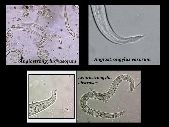 Angiostrongylus