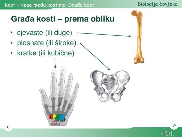 Građa kosti – prema obliku