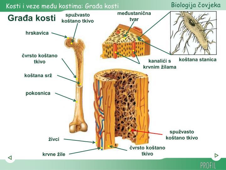 Građa kosti