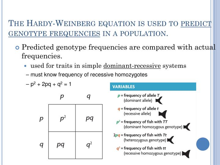 """The Hardy-Weinberg equation is based on Mendelian genetics. It is derived from a simple Punnett square in which p is the frequency of the dominant allele and q is the frequency of the recessive allele."""