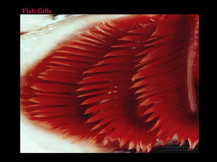 Fish Gills
