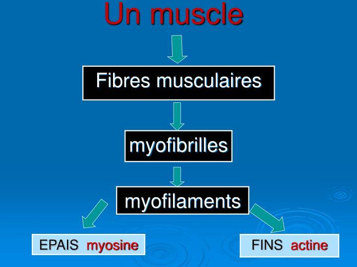 Un muscle