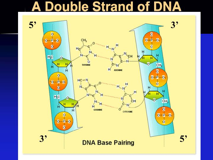 A Double Strand of DNA