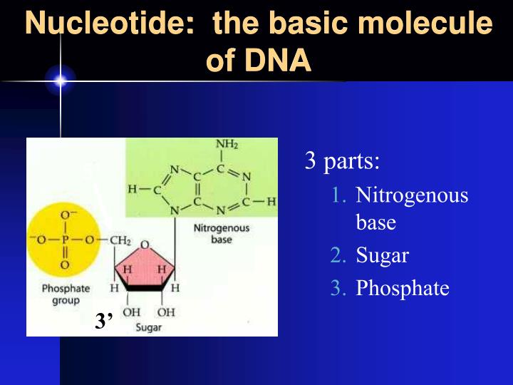 Nucleotide:  the basic molecule of DNA