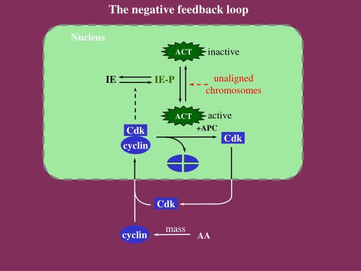 The negative feedback loop