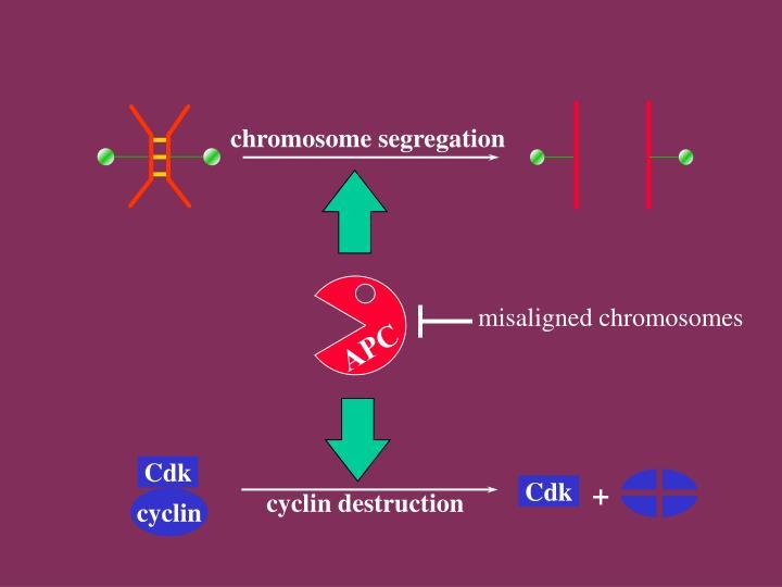 chromosome segregation