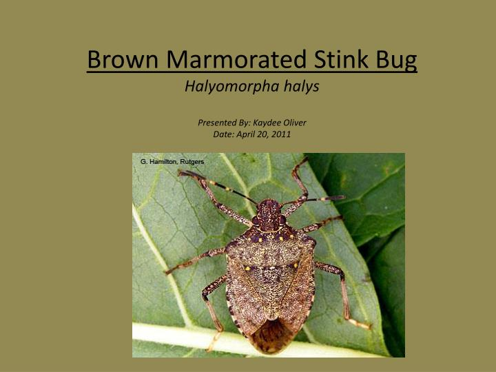 Brown m armorated stink bug halyomorpha halys presented by kaydee oliver date april 20 2011