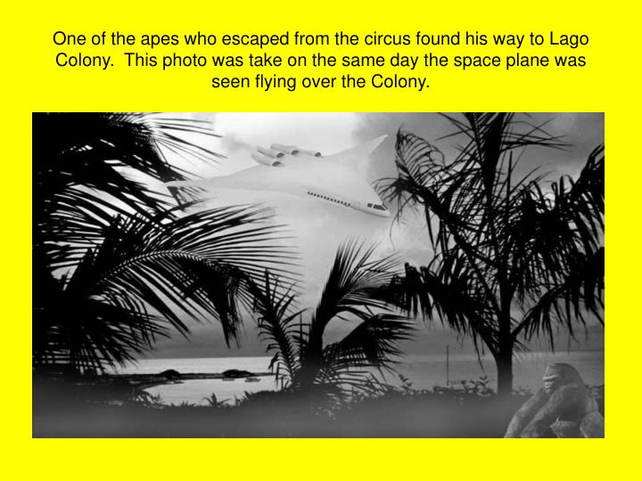 One of the apes who escaped from the circus found his way to Lago Colony.  This photo was take on th...