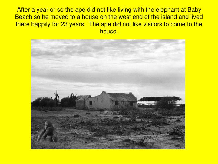 After a year or so the ape did not like living with the elephant at Baby Beach so he moved to a house on the west end of the island and lived there happily for 23 years.  The ape did not like visitors to come to the house.