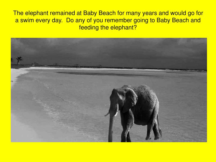 The elephant remained at Baby Beach for many years and would go for a swim every day.  Do any of you remember going to Baby Beach and feeding the elephant?