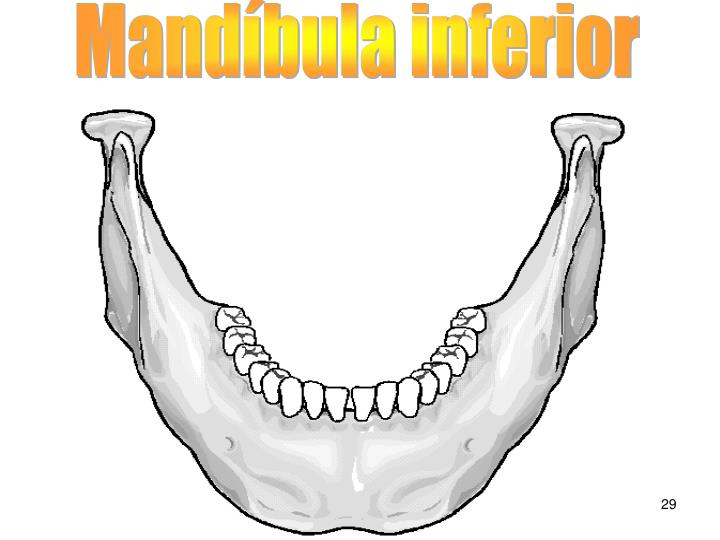 Mandíbula inferior