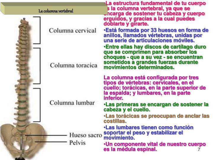 La estructura fundamental de tu cuerpo es la columna vertebral, ya que se encarga de sostener tu cabeza y cuerpo erguidos, y gracias a la cual puedes doblarte y girarte.
