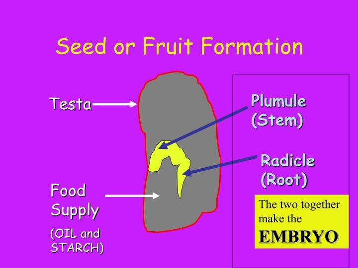 Radicle (Root)