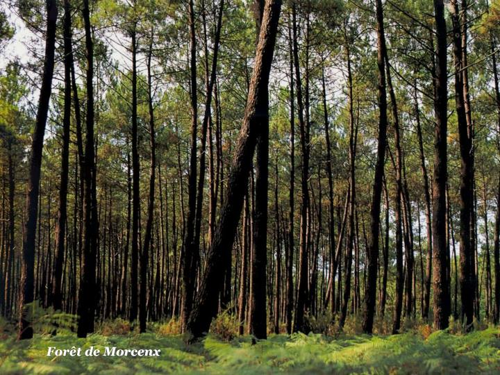 Forêt de Morcenx