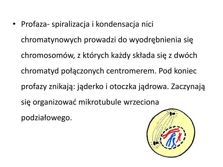 Profaza- spiralizacja i kondensacja nici chromatynowych prowadzi do wyodrębnienia się chromosomów, z których każdy składa się z dwóch chromatyd połączonych centromerem. Pod koniec profazy znikają: jąderko i otoczka jądrowa. Zaczynają się organizować mikrotubule wrzeciona podziałowego.