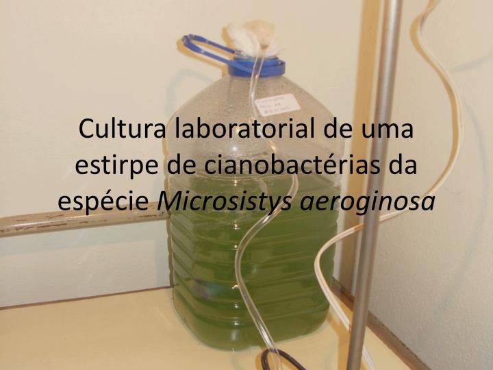 Cultura laboratorial de uma estirpe de cianobactérias da espécie
