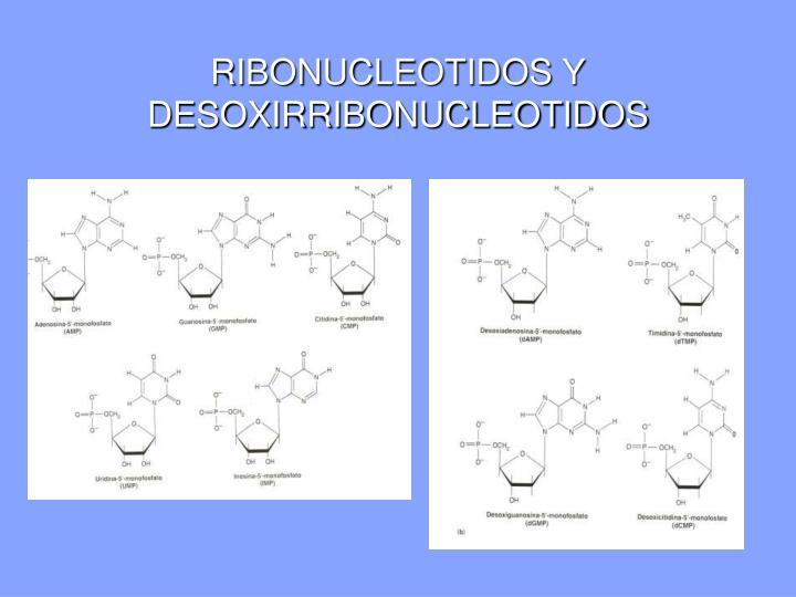 RIBONUCLEOTIDOS Y DESOXIRRIBONUCLEOTIDOS
