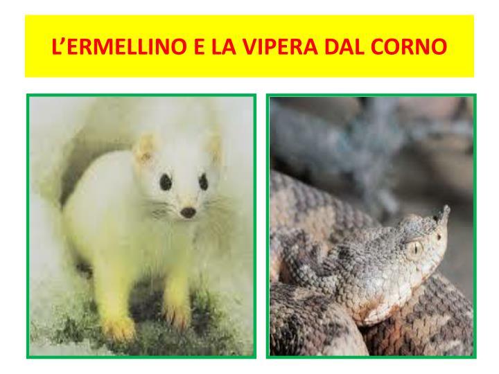L'ERMELLINO E LA VIPERA DAL CORNO